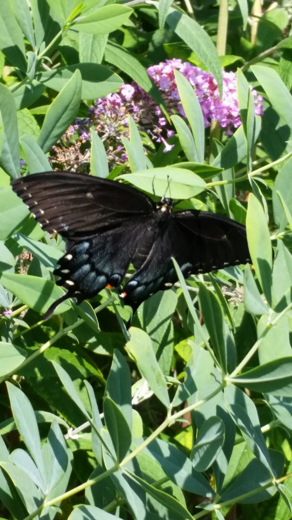 The female tiger swallowtail can appear in a dark form as shown here.
