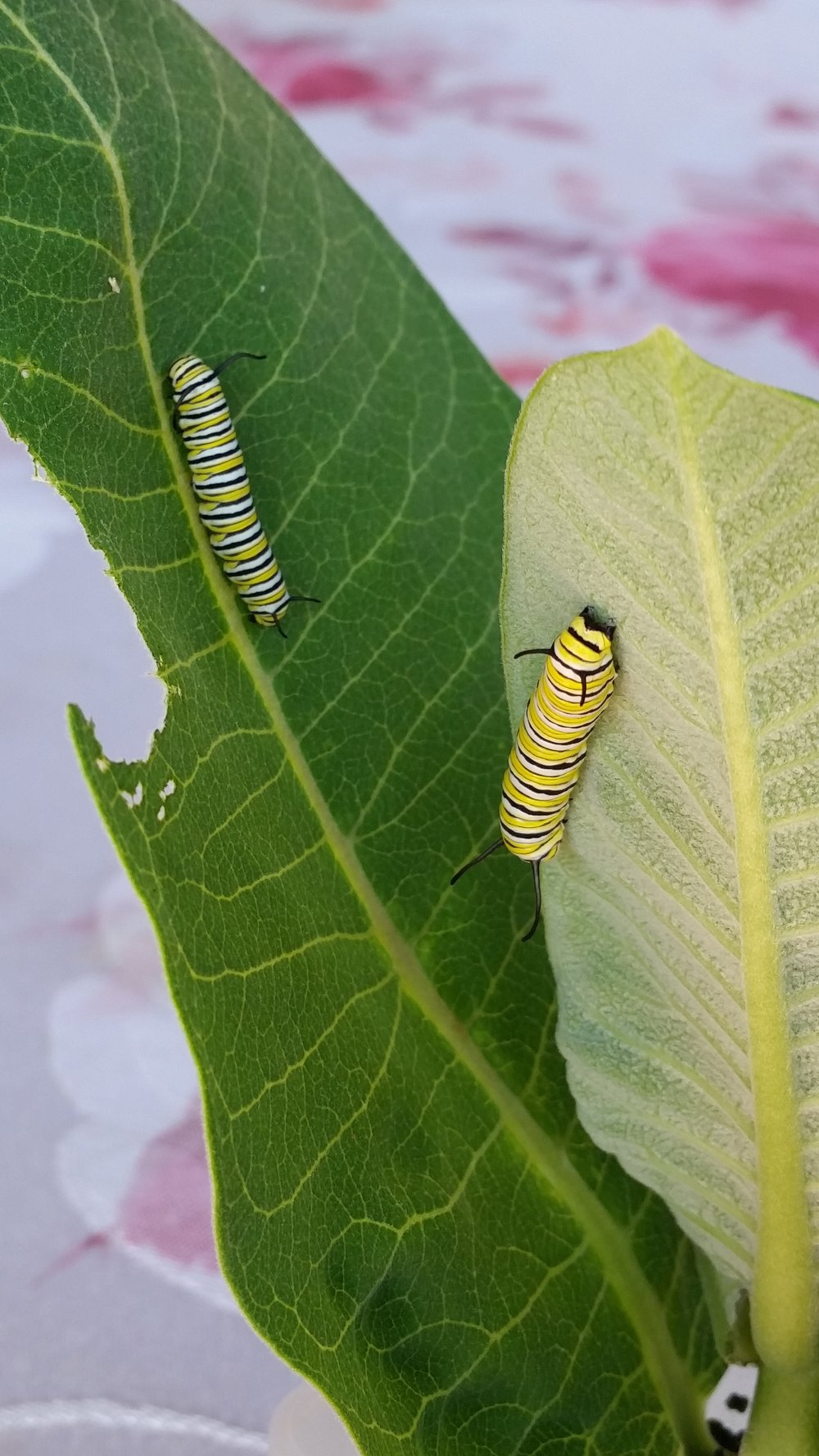 The caterpillars are busy eating during these hot days of late May in Chicago.