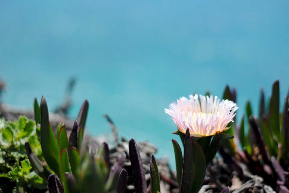 Ice plants flourish in the saline coastal environment.