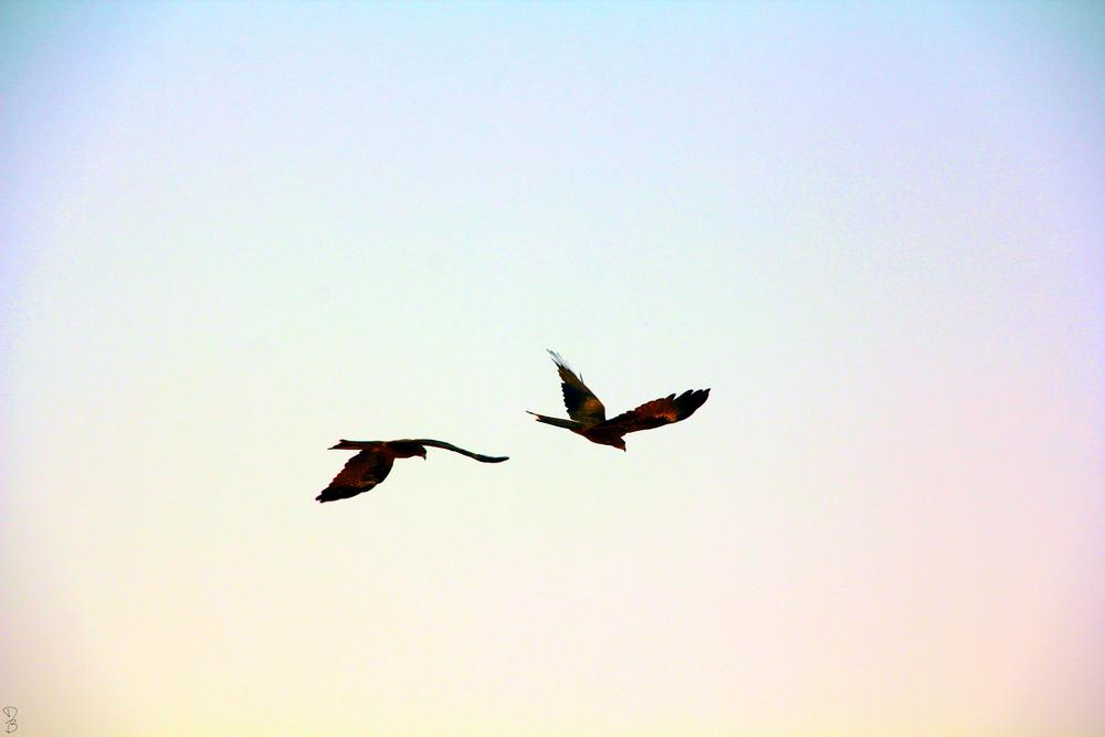 hawks in the sky.jpg