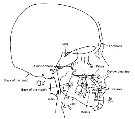 Cephalometric diagram of ideal facial proportions in profile.