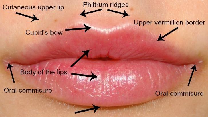 Lip anatomy. Image credit drnaomi.com.au