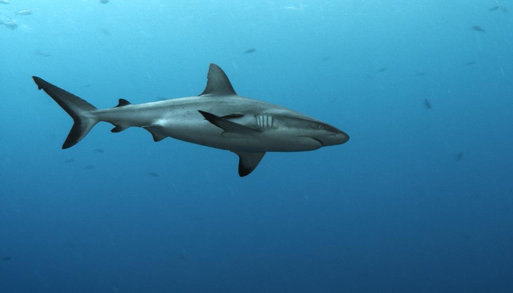 Shark 32.jpg
