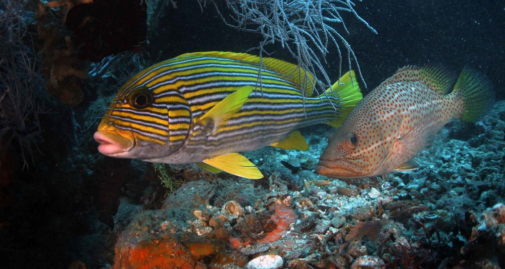 Sweetlips & Cod small.jpg
