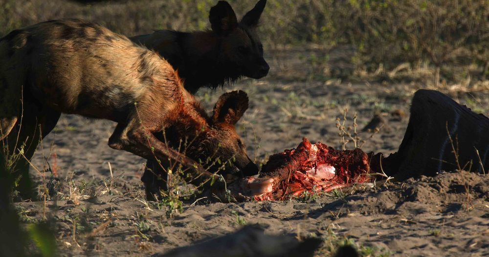 Wild Dogs at Kill.jpg