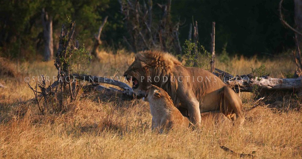 Lions 002ss.jpg