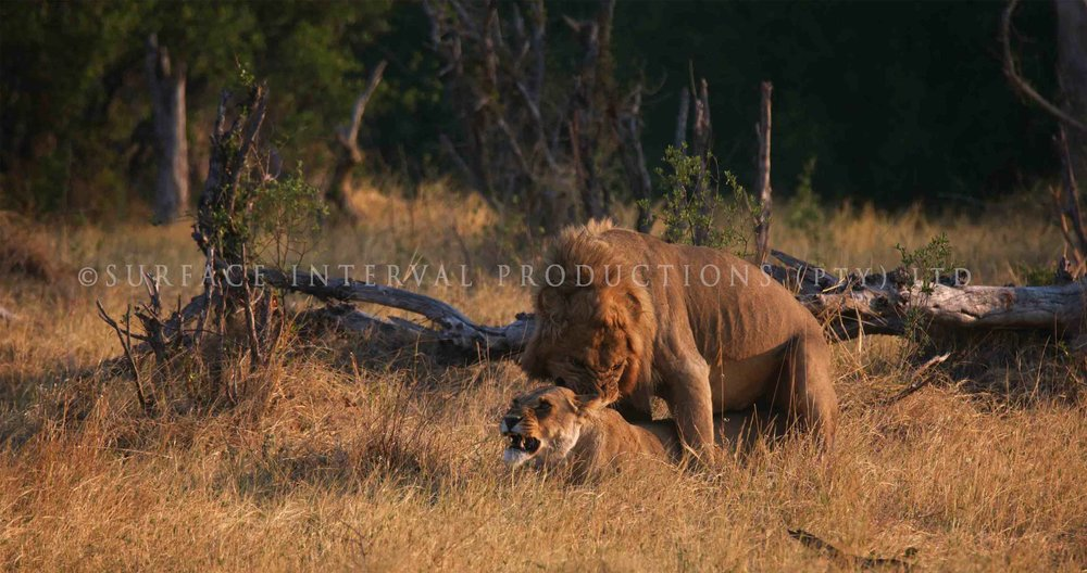Lions 001ss.jpg