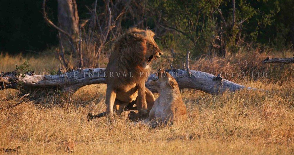 Lions 004ss.jpg