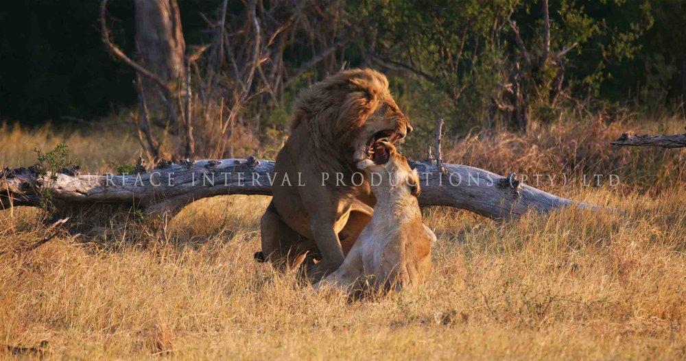 Lions 003ss.jpg