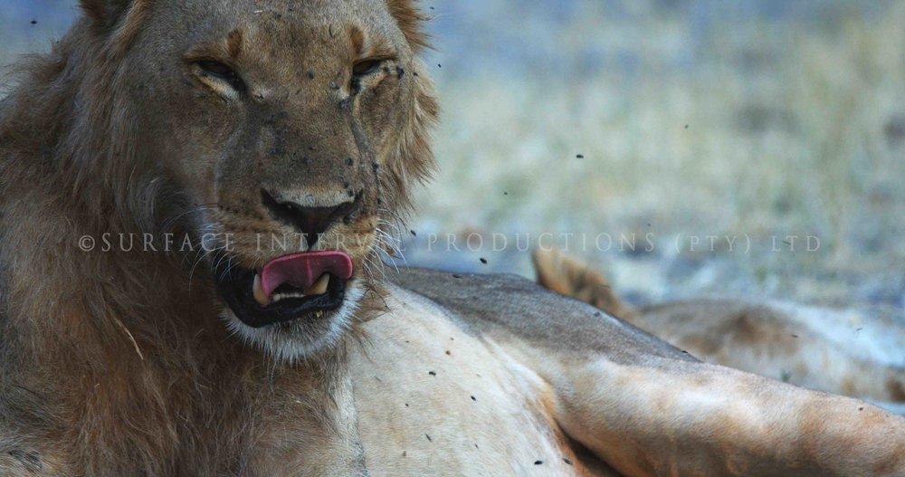 Lions 006s.jpg