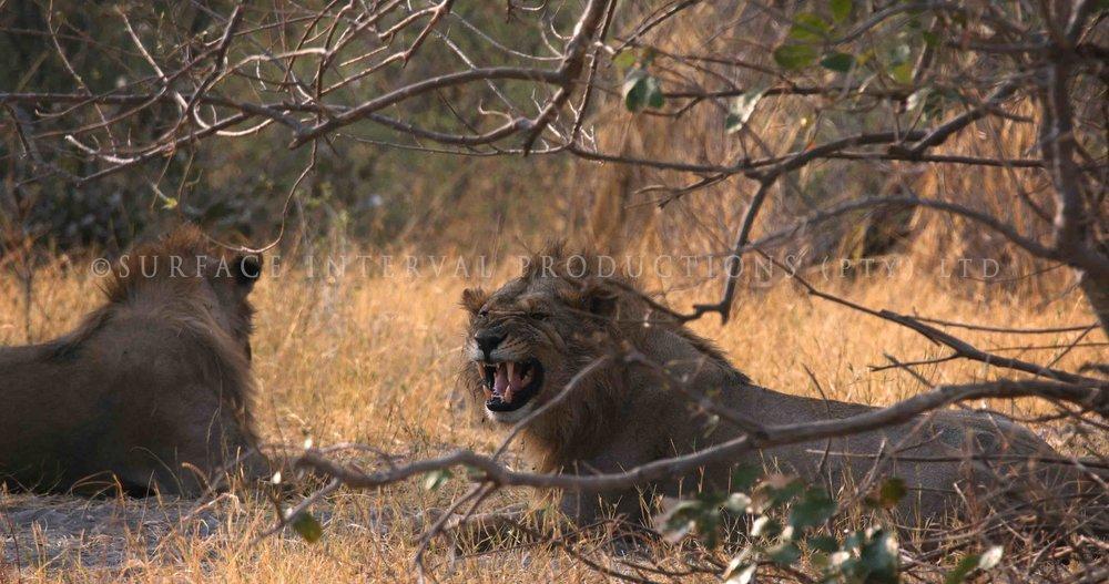 Lions 008s.jpg