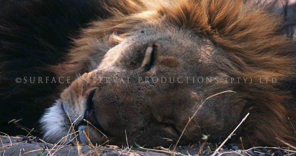 Lions 009ss.jpg