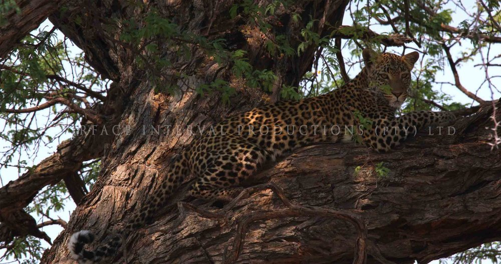 Leopard 06ss.jpg