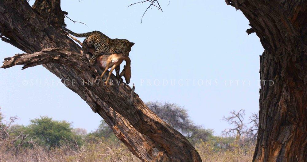 Leopard 08s.jpg