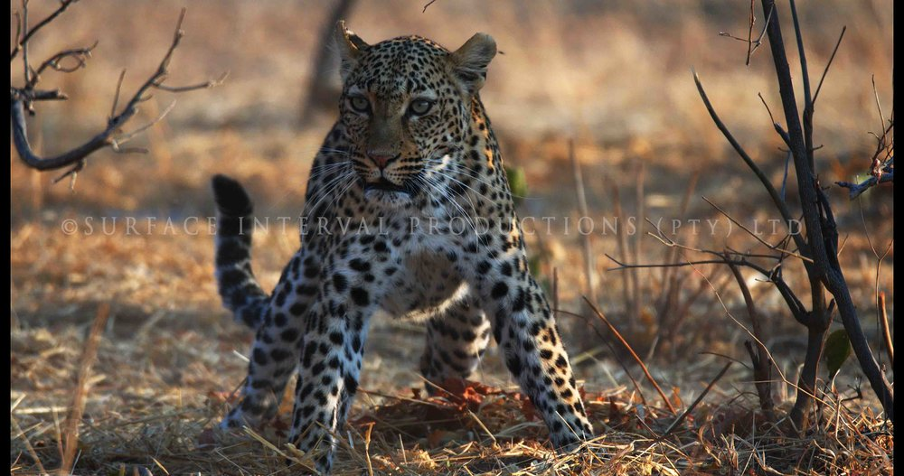 Leopard 012s.jpg