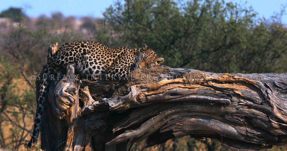 Leopard 017ss.jpg