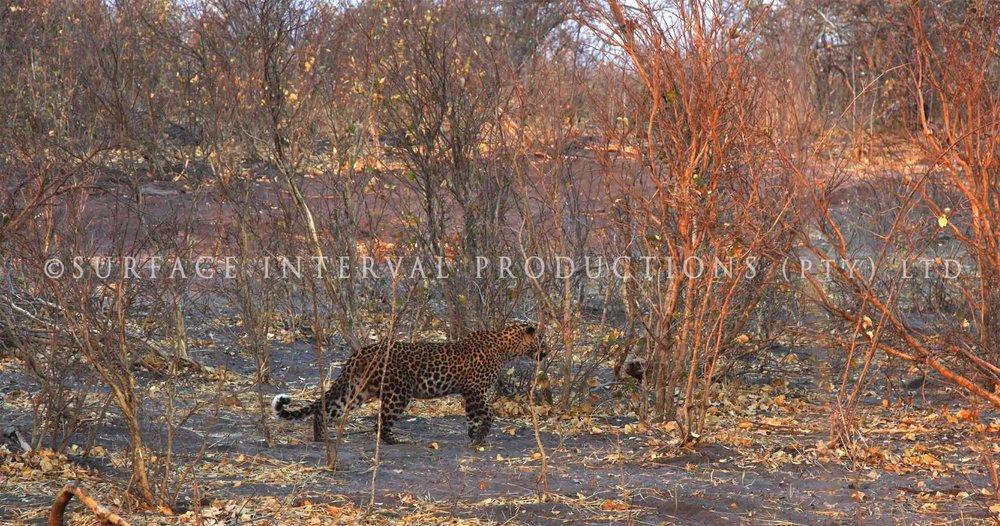 Leopard 024s.jpg
