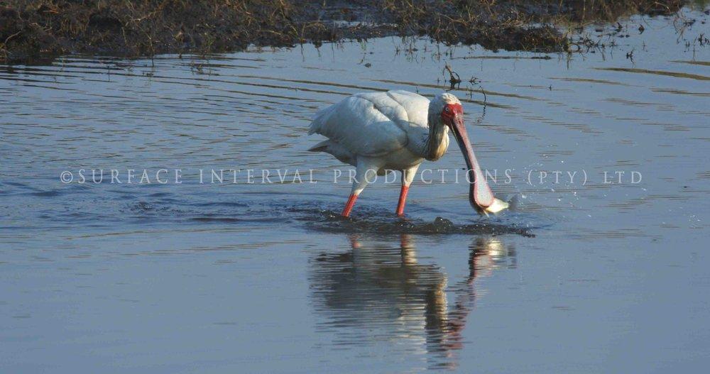 Spoobill Stork 002s.jpg