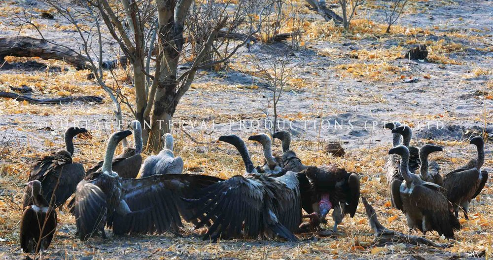 Vulture 002ss.jpg