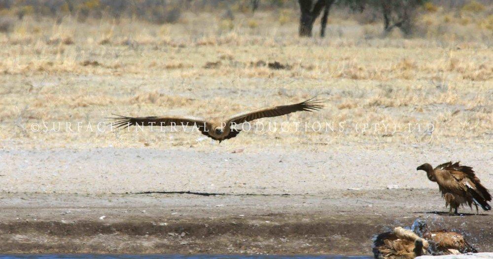 Vulture 005s.jpg
