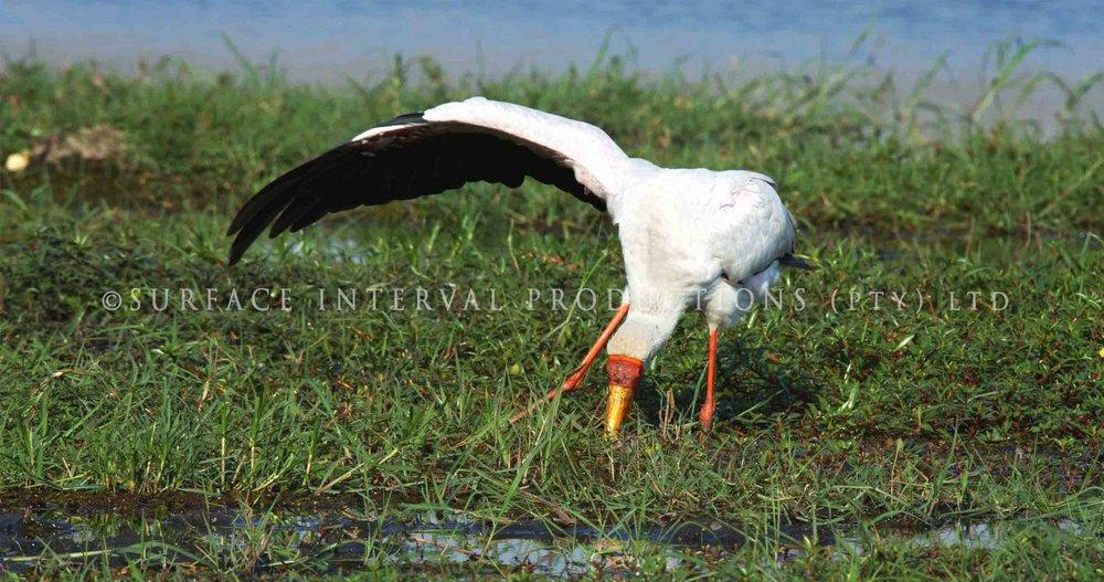 Yellowbill stork 001ss.jpg