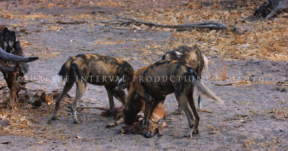 Wild Dogs 008s.jpg