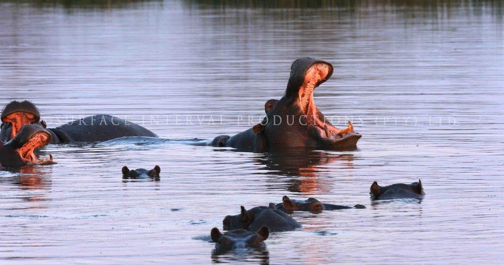 Hippo 005s.jpg