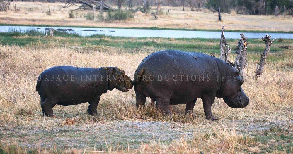 Hippo 007ss.jpg