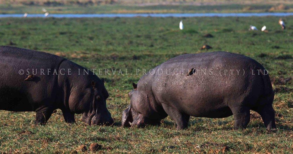Hippo 009s.jpg
