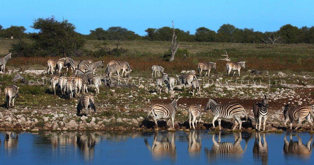 Zebra 03.jpg