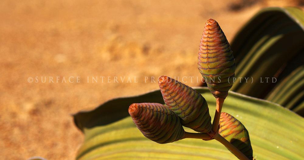 Welwitschia mirabilis 01.jpg