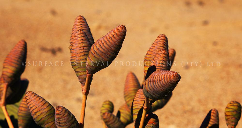 Welwitschia mirabilis 06.jpg