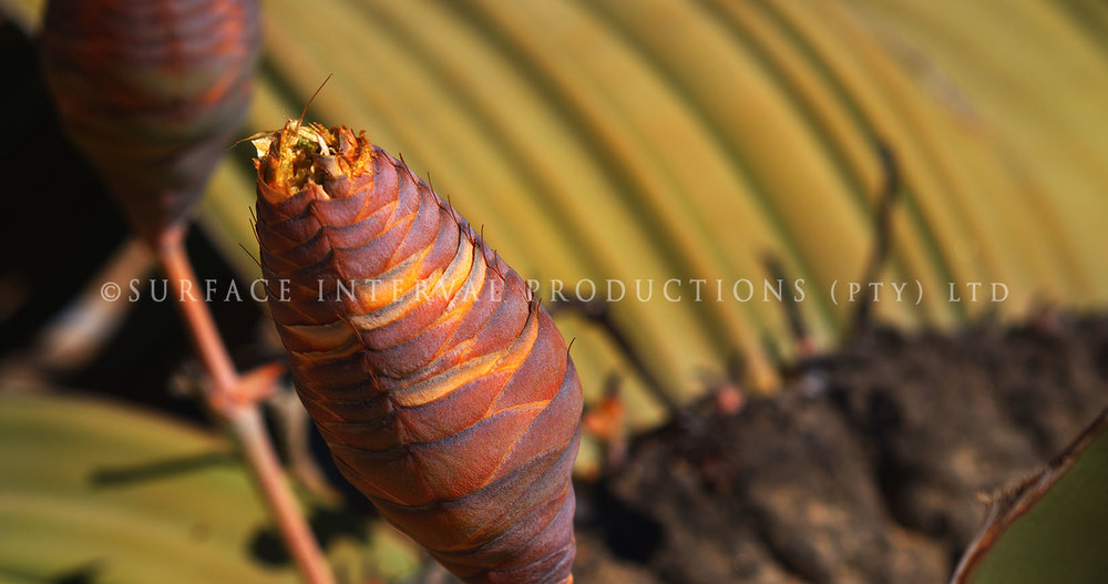 Welwitschia mirabilis 05.jpg