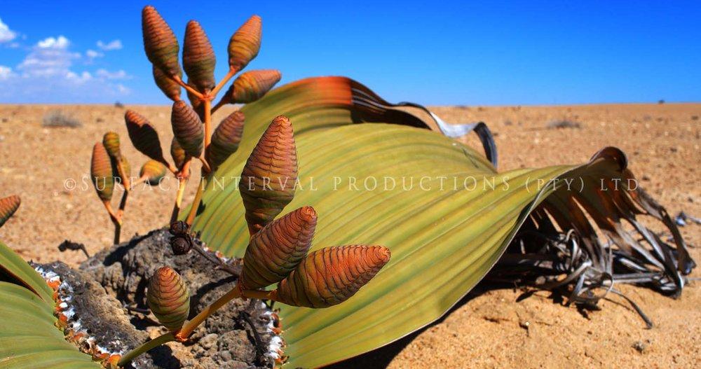 Welwitschia mirabilis 06b.jpg