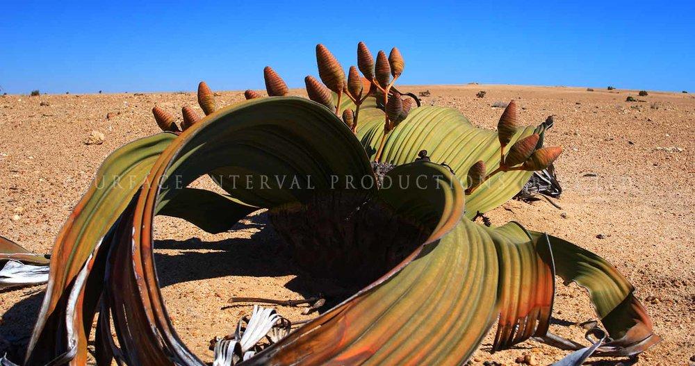 Welwitschia mirabilis 15.jpg