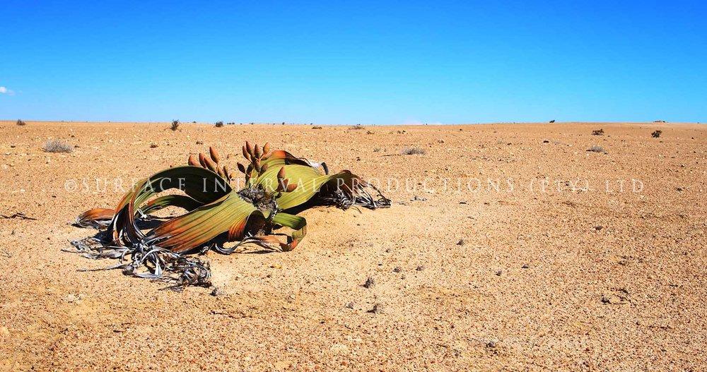 Welwitschia mirabilis 16.jpg