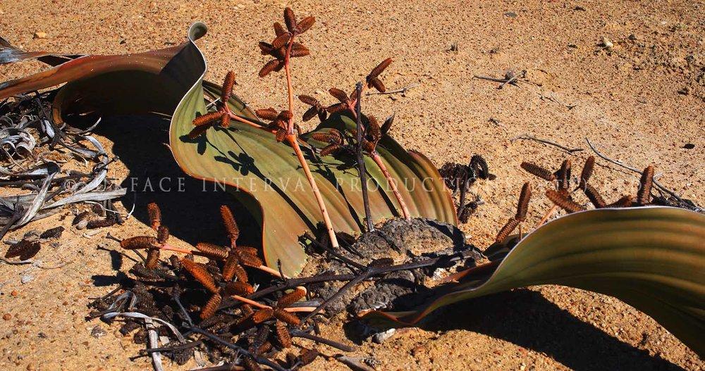 Welwitschia mirabilis 17.jpg