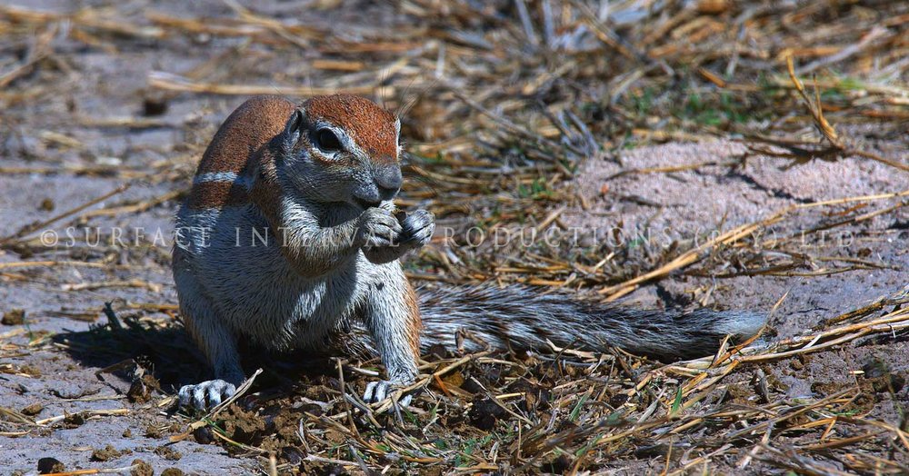 Ground Squirrel 03.jpg