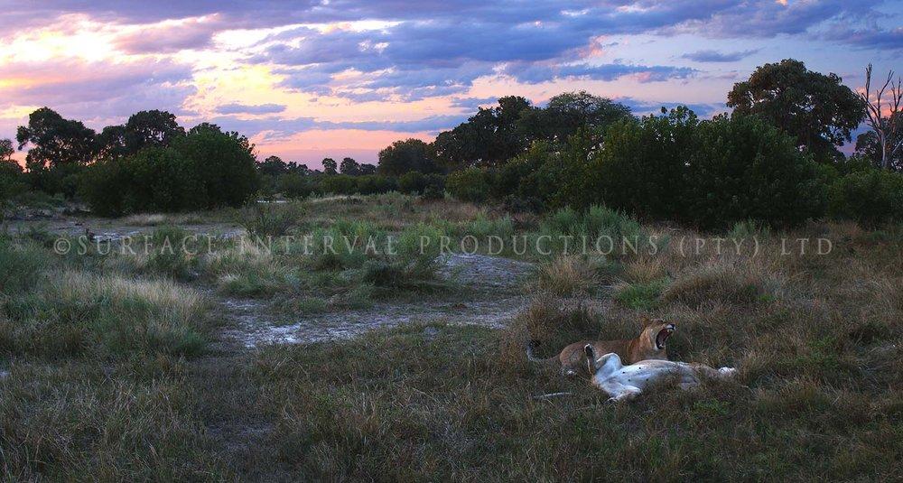 Lioness 06.jpg