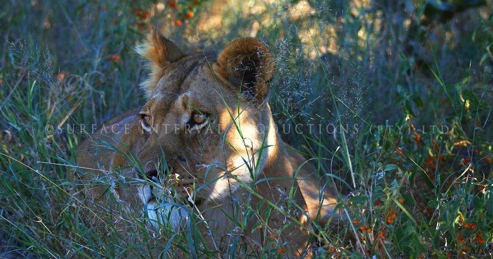 Lioness 02.jpg