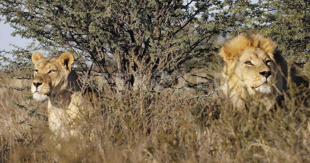 Lion Kgahagadi 2018 b_1.425.1.jpg