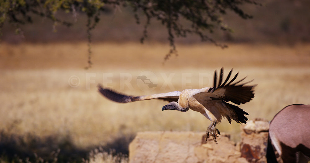 White Backed Vulture Kgahagadi 2018_1.92.2.jpg