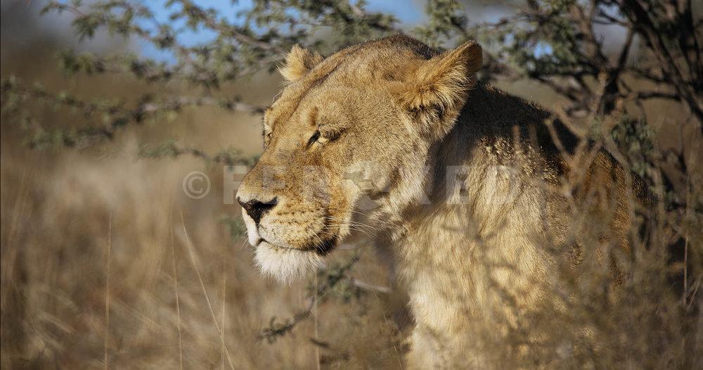 Lion Kgahagadi 2018 b_1.426.1.jpg