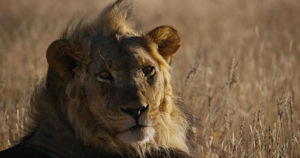 Lion Kgahagadi 2018_1.13.6.jpg