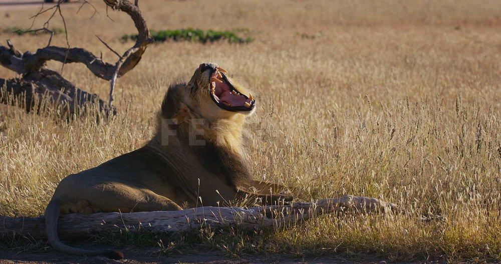 Lion Kgahagadi 2018_1.23.2.jpg