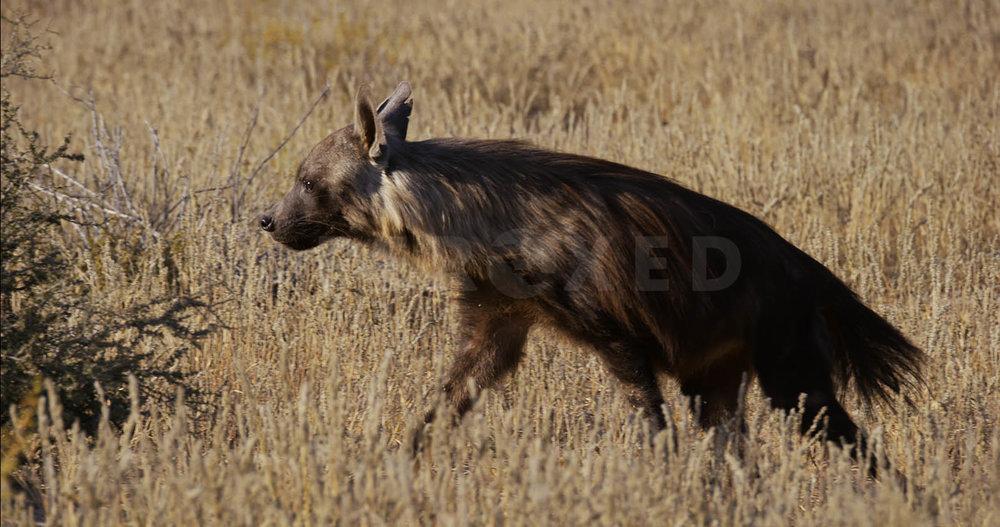 Brown Hyena Kgahagadi 2018 b_1.133.1.jpg