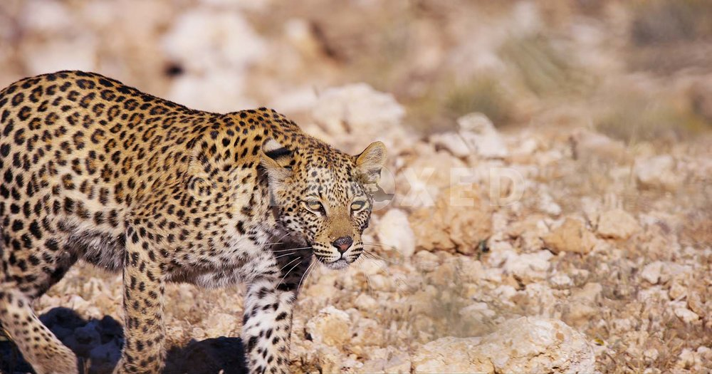 Leopard Kgahagadi 2018_1.40.1.jpg