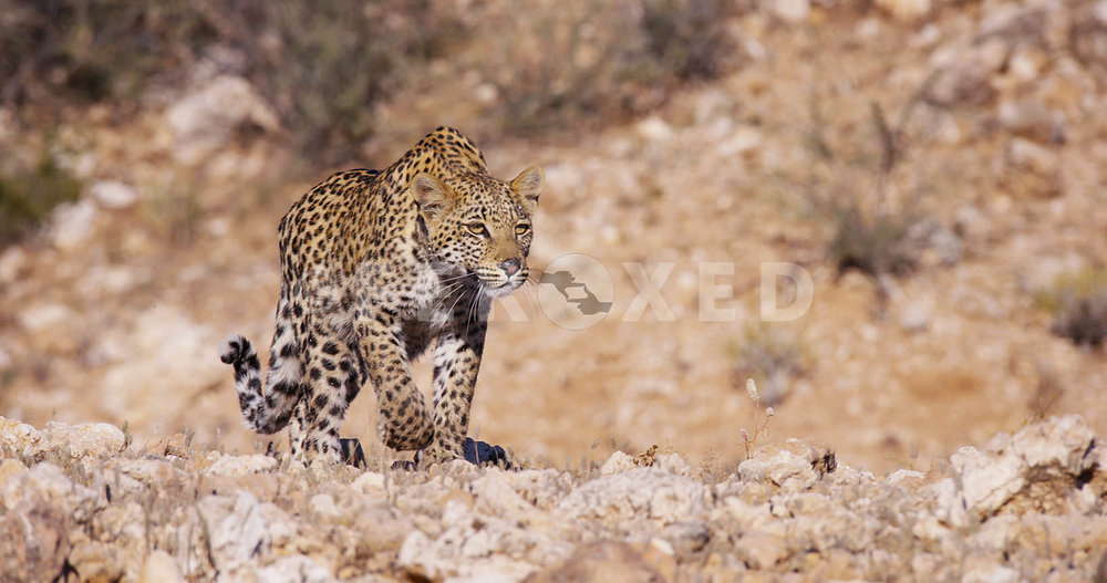 Leopard Kgahagadi 2018_1.39.1.jpg