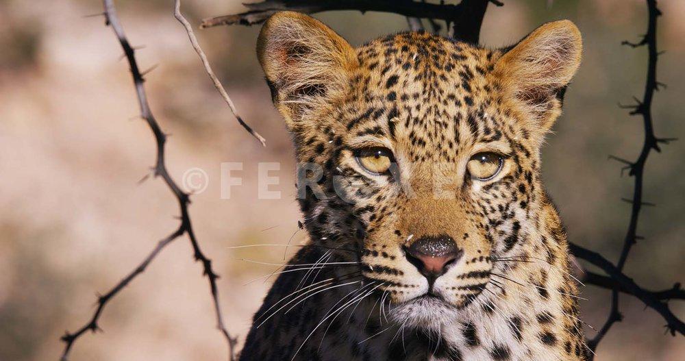 Leopard Kgahagadi 2018_1.43.2.jpg