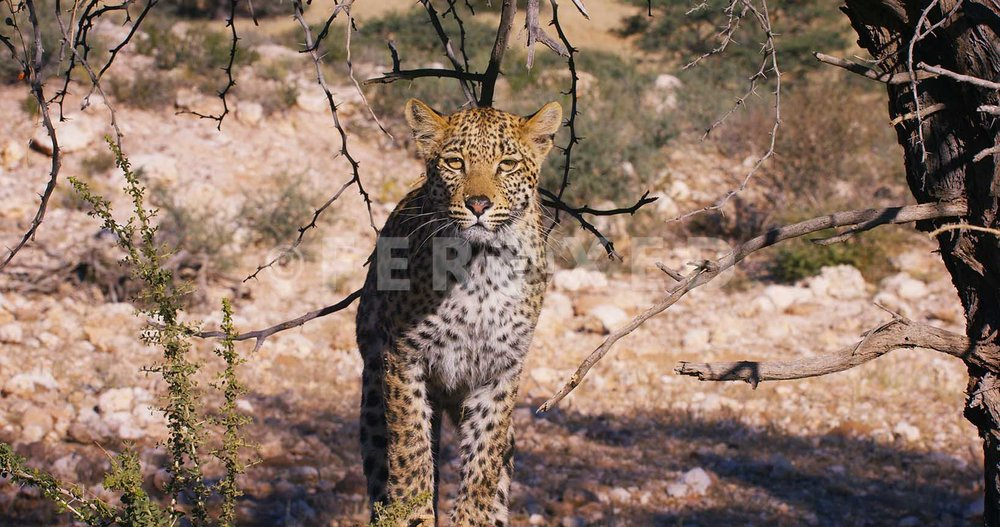 Leopard Kgahagadi 2018_1.45.1.jpg